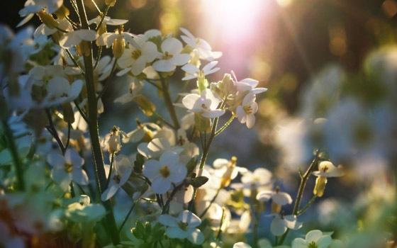 весенние цветы на рабочий стол