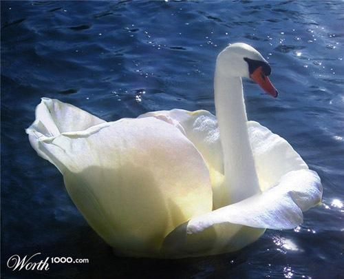 лебедь-роза