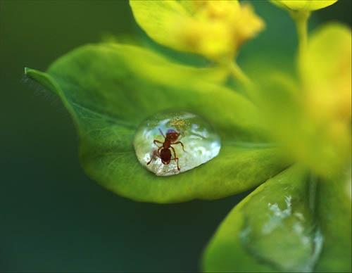 муравей в капле воды