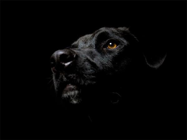 черная собака на черном фоне