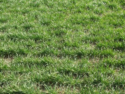 текстура зеленой лужайки