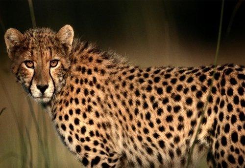 Африканский гепард