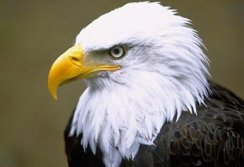Белоголовый орел