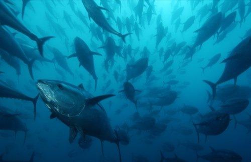 Стая голубого тунца