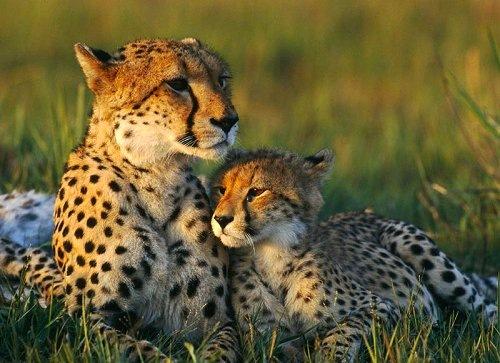 Мама и малыш гепарды