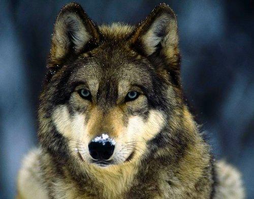 Серый волк в снегу