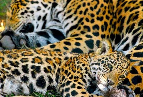 Ягуар и малыш отдыхают