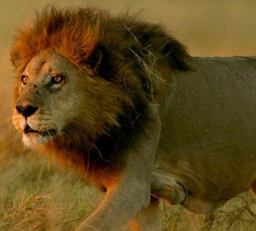 Лев среди травы
