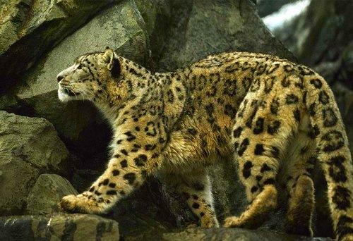 Редкий снежный леопард
