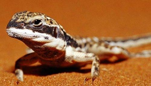 Защитная песочная ящерица