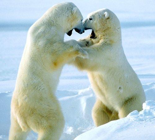 Спаринг полярных медведей