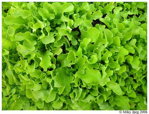текстура из зеленого салатного лита