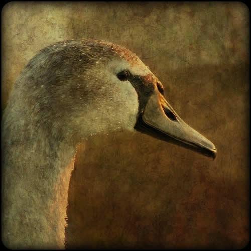 фотография лебедя
