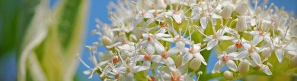 нежные белые цветы