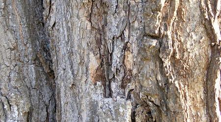 Текстура светлого дерева