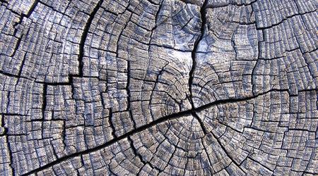Срез старого дерева