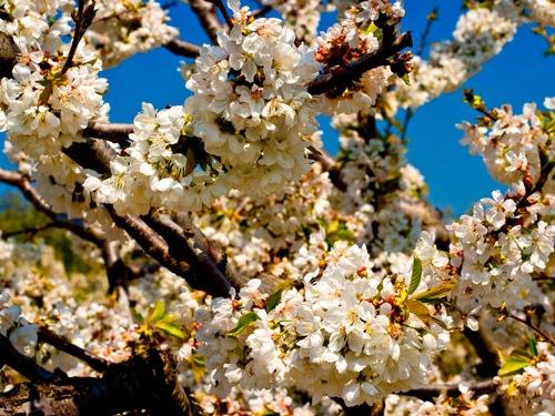 Пышные весенние цветы