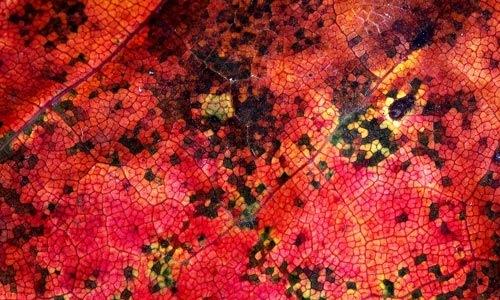 Красная текстура листа