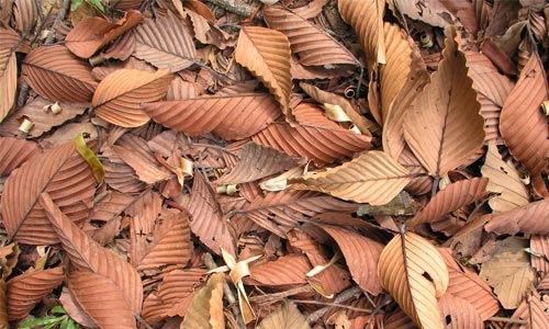Пожелевшие сухие листья