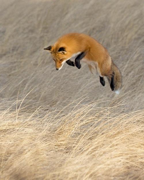 Лисица в полете