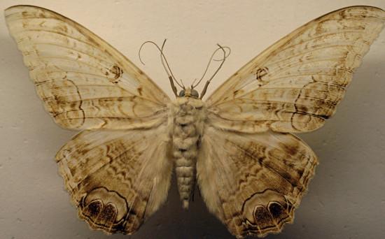 7 moth