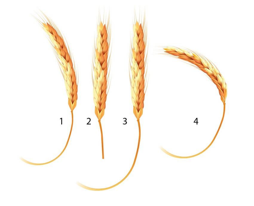create ears of wheat